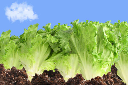 lettuce in soil growing in a garden with a sky background