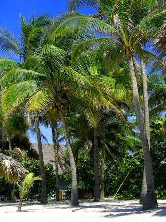 varadero: palm trees with coconuts at a resort in Varadero Cuba