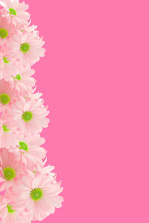 isolated image of pink daisies with copy-space appropriate for greeting card