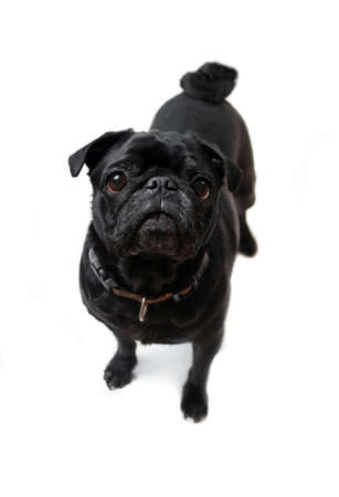 black pug: Black Pug  posing for the camera on a white background