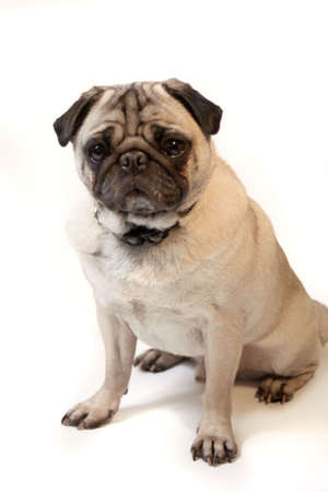 Fawn colored Pug  posing for the camera on a white background  photo