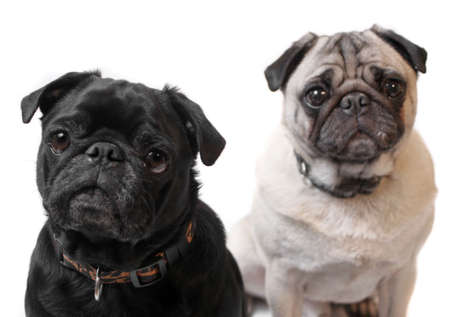 black pug: Black and Fawn colored Pugs posing for the camera on a white background focus on black dogs face