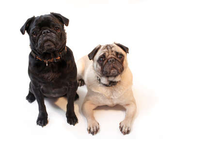 Black and Fawn colored Pugs posing for the camera on a white background focus on black dogs face