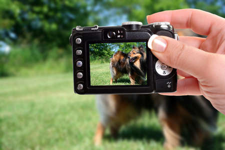 sheepdog: woman taking snapshot of shetland sheepdog with compact camera