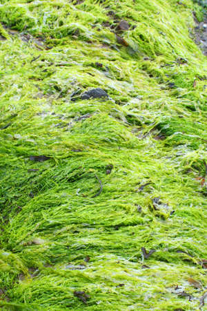 oceanic: bright colored green seaweed, brightness caused where fresh water flowed over salty seaweed  Stock Photo