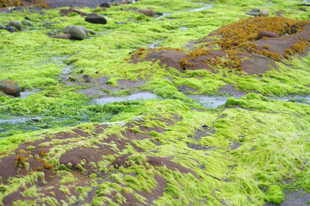 bright colored green seaweed, brightness caused where fresh water flowed over salty seaweed  Banco de Imagens