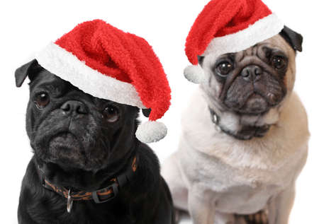 black pug: Black and Fawn colored Pugs with christmas santa claus hats   on a white background, focus on black dogs face  Stock Photo