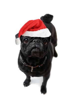 black pug: pug looks at christmas bag with santa claus hat in wonderment