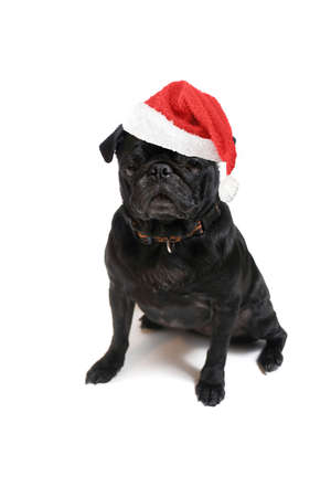 black pug: festive christmas black  pug with red santa claus hat on white background
