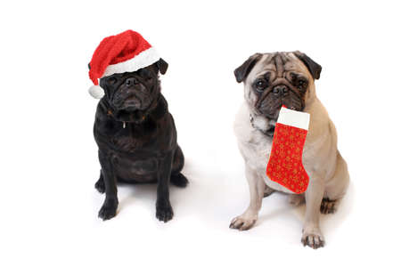 Black and Fawn colored Pugs one with christmas santa claus hat and the other with decorative stocking   on a white background photo