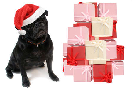 festive christmas black  pug with red santa claus hat on white background with gift boxes photo