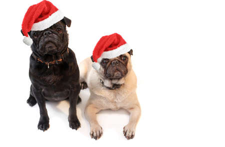 Black and Fawn colored Pugs with christmas santa claus hats   on a white background, focus on black dogs face  photo