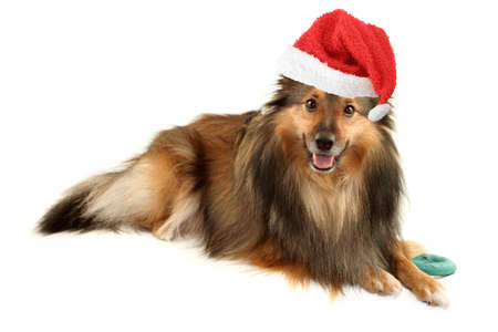 sheltie: beautiful furry purebred Shetland Sheepdog (Sheltie) with christmas santa claus hat