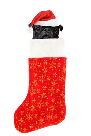 stuffer: pug with santa claus hat inside festive christmas stocking with gold stars hanging isolated on a white background Stock Photo