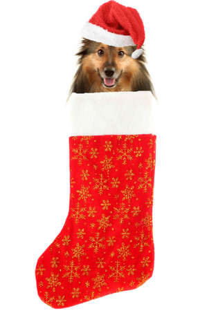 sheltie with santa claus hat inside festive christmas stocking with gold stars hanging isolated on a white background
