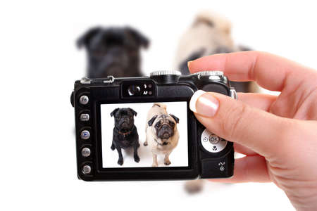 pet photography: Black and Fawn colored Pugs posing for the camera on a white background focus on black dogs face