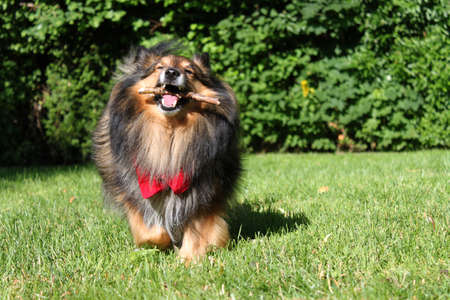 yard stick: Brown Shetland Sheepdog ( Sheltie ) with red scarf playing with stick being active outdoors