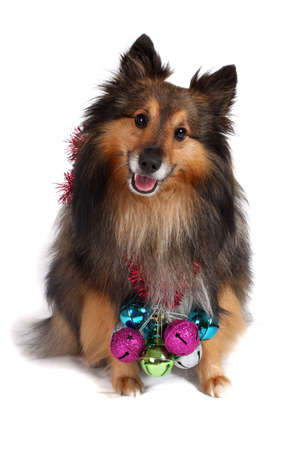 Brown and black Sheltie dog with hanging christmas bells along his collar