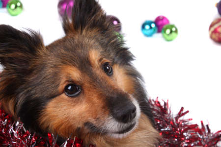 Close up of brown and black Sheltie dog surrounded by christmas ball decorations  Stock Photo