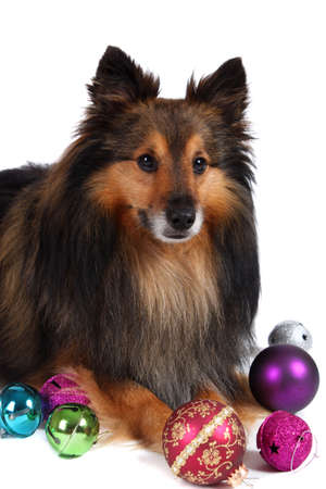Brown and black Sheltie dog surrounded by christmas ball decorations  Stock Photo