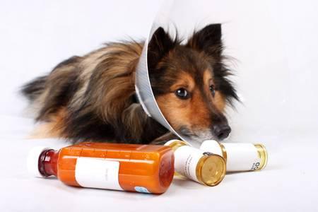 病気のシェルティーまたはフォア グラウンドで犬円錐形つばおよび医学ボトル シェットランド ・ シープドッグ (孤立していない) 写真素材 - 5844844