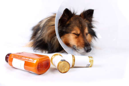 Sick Sheltie or Shetland sheepdog with dog cone collar and medicine bottles in the foreground (NOT ISOLATED) Stock Photo