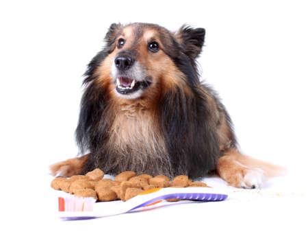 Petit Sheltie de fourrure portant avec la nourriture que vous aide à nettoyer les dents, une brosse à dents devant pour soins dentaires chien