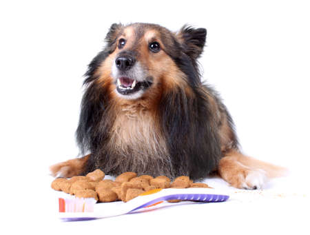 Small furry Sheltie laying with food that helps clean teeth,  a toothbrush in front for  dog dental care Stock Photo