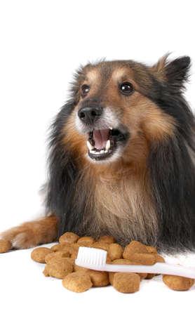 小さな毛皮のようなシェルティー犬デンタルケアの前で歯ブラシきれいな歯に役立ちます咀嚼食品の敷設 写真素材