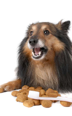 front teeth: Small furry Sheltie laying chewing food that helps clean teeth,  a toothbrush in front for  dog dental care