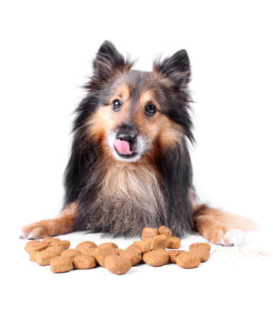 Small Sheltie or Shetland sheepdog licking his lips while eating  the dogfood in front of him  (Not Isolated)
