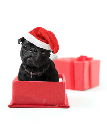 black pug: Black pug with santa claus hat inside a red gift box