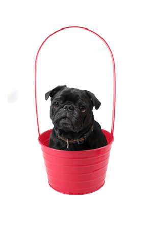 black pug: Black pug inside a pink plant pot