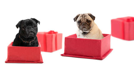 Black and fawn colored pugs sitting  inside a red gift box  Stock Photo