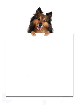 Sheltie on top of a blank billboard advertisement. White background