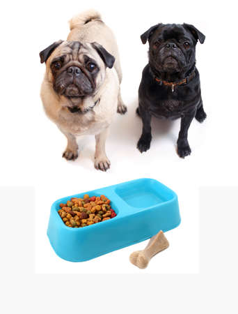 pooches: Black and Fawn colored Pugs with blue bowl containing dogfood and water. Chewable bone beside bowl