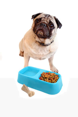 Fawn colored Pug  posing with bowl containing dogfood and water with chewable bone to the side on a white background