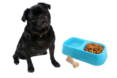 Black  colored Pugs with blue bowl full of dogfood and water with a chewable bone on a white background