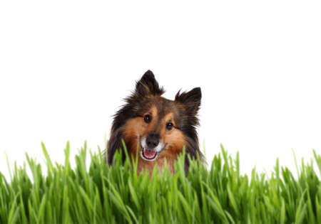 Cute Shetland Sheepdog behind green grass on a white background
