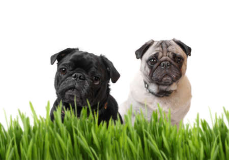 Black and fawn pug dogs behind blurred grass with a white background (focus on black pug)