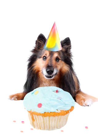 Sheltie or Shetland sheepdog with party hat and frosted cupcake celebrating a birthday photo