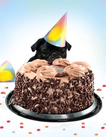 Black  colored Pug peeking behind a birthday black forest chocolate cake wearing a party hat, great for a postcard photo