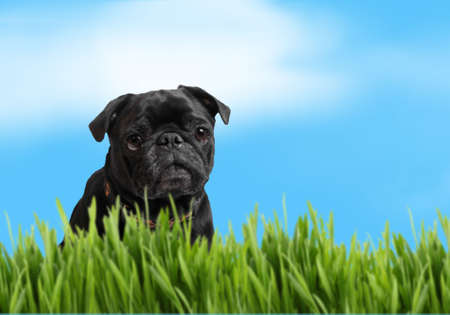 Black pug with green grass and blue sky background