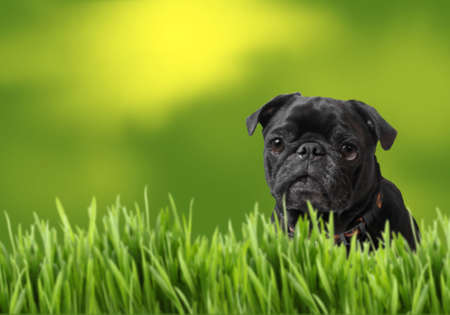 Black pug with green grass with room for copyspace in background greenery