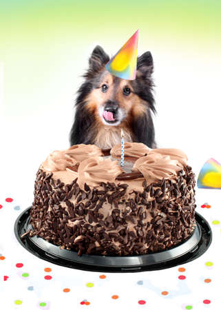 Shetland sheepdog or sheltie sitting behind a birthday black forest chocolate cake with lit candle while wearing a party hat  (standard postcard size)