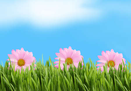 pink daisy: Green  grass  and pink daisy background against a blue sky