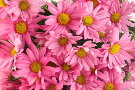 Background of pink daisy flowers, a sign of spring Imagens