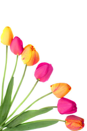 Bouquets of pink, orange and yellow tulips on a white background (not isolated) making a frame or a border