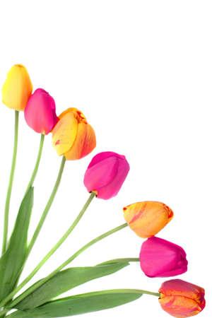 Mazzi di tulipani rosa, arancioni e gialli su sfondo bianco (non isolato) rendendo un fotogramma o un bordo  Archivio Fotografico - 6972050