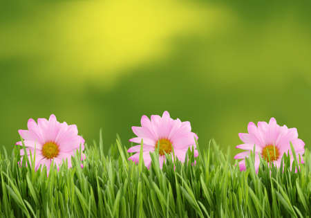 Three pink daisies on tall grass border  with green spring background Stock Photo
